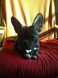 Floups, chien Bouledogue français
