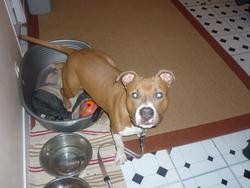 El Diablo, chien American Staffordshire Terrier