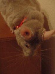 Perle, rongeur Chinchilla