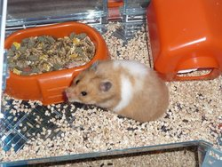 Creamy, rongeur Hamster