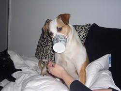 Fiby, chien American Staffordshire Terrier