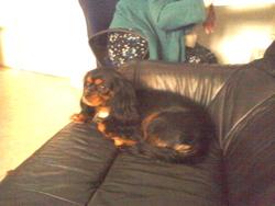Pixelle, chien Cavalier King Charles Spaniel