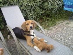 Corso, chien Beagle