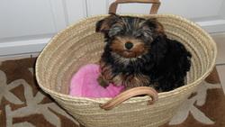 Florenza, chien Yorkshire Terrier