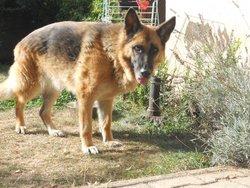 Pampa, chien Berger allemand