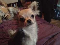 Pepsy, chien Chihuahua