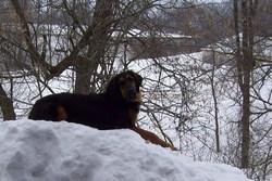Juliette, chien Bouvier bernois