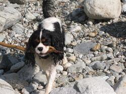 Cosco, chien Cavalier King Charles Spaniel
