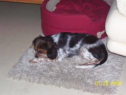 Bettyboop, chien Cavalier King Charles Spaniel