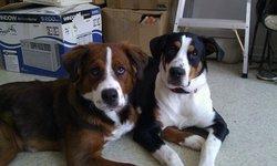 Maggie, chien Bouvier bernois