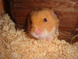 Cacahuéte, rongeur Hamster