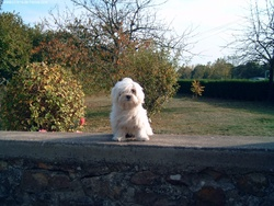 Charlot, chien Bichon maltais