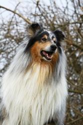 Angus Bleu , chien Colley à poil long