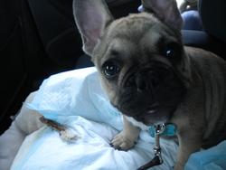 Guss, chien Bouledogue français