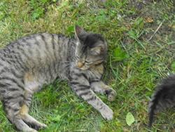 Sassy, chat Européen