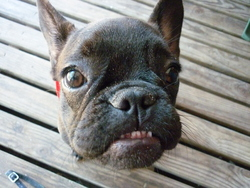 Faya, chien Bouledogue français