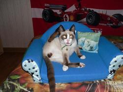 Fraky, chat Siamois