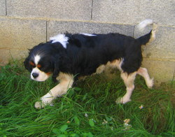 Blue, chien Cavalier King Charles Spaniel