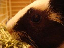 Frankie, rongeur Cochon d'Inde