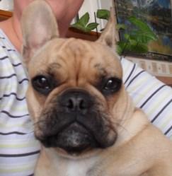 Gomette, chien Bouledogue français