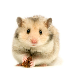 Ghoughou, rongeur Hamster