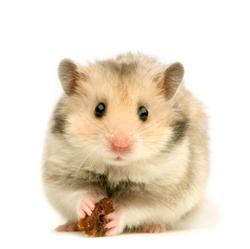Ghoughou, rongeur Hamster