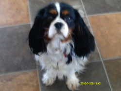 Jasemine, chien Cavalier King Charles Spaniel