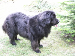 Abyss, chien Terre-Neuve