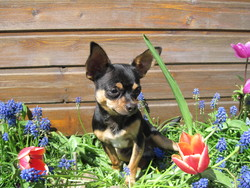 Sweety, chien Chihuahua