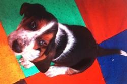 Farfadet, chien Basset Hound
