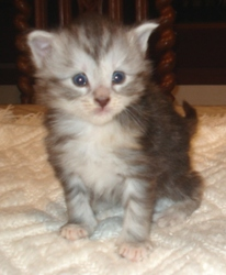 Bleue Tortie Silver Mackerel Tabby, chat Maine Coon