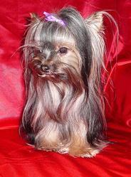 Puppy, chien Yorkshire Terrier