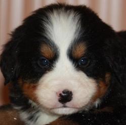 Foudre, chien Bouvier bernois