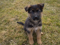 Foster, chien Berger allemand