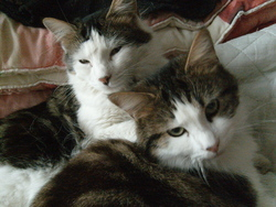 Calyssa 2eme Jumelle, chat Européen