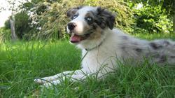 Forest, chien Border Collie