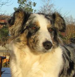 Dolly, chien Border Collie
