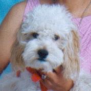 Moesha, chien Caniche