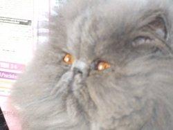 Caprice Blue De La Poesie Cat, chat Persan