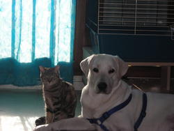 Snip, chien Labrador Retriever