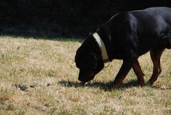 Hrdos, chien Rottweiler
