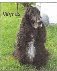 Wyrus, chien Cocker anglais
