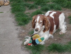 Ully, chien Welsh Springer Spaniel