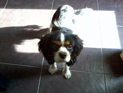 Jack, chien Cavalier King Charles Spaniel