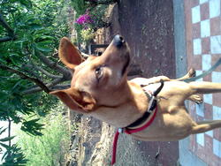 Blacky, chien Pinscher