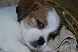 Sweeney Todd, chien Jack Russell Terrier