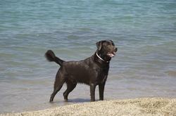 Cuby, chien Labrador Retriever