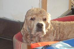 Orphée, chien Cocker américain