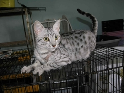 Clochette, chat Ocicat