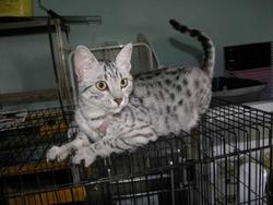 Clochette, chat Ocicat